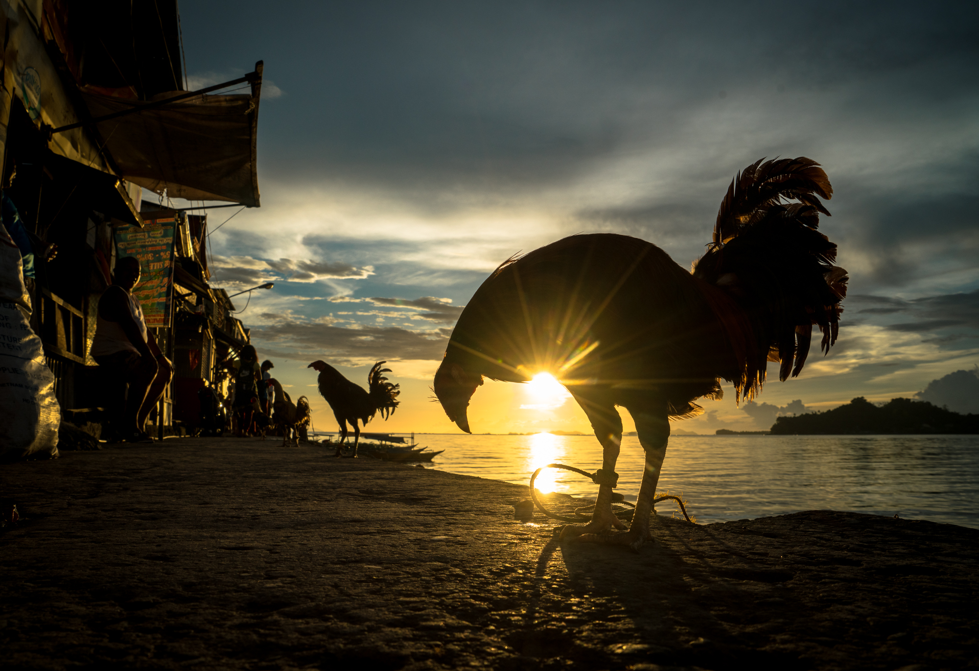 Rooster in Catbalogan, Philippines